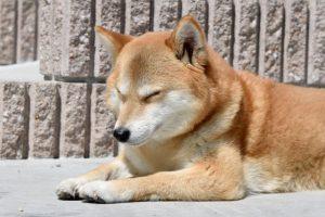 柴犬、いぬ、仮眠、寝る