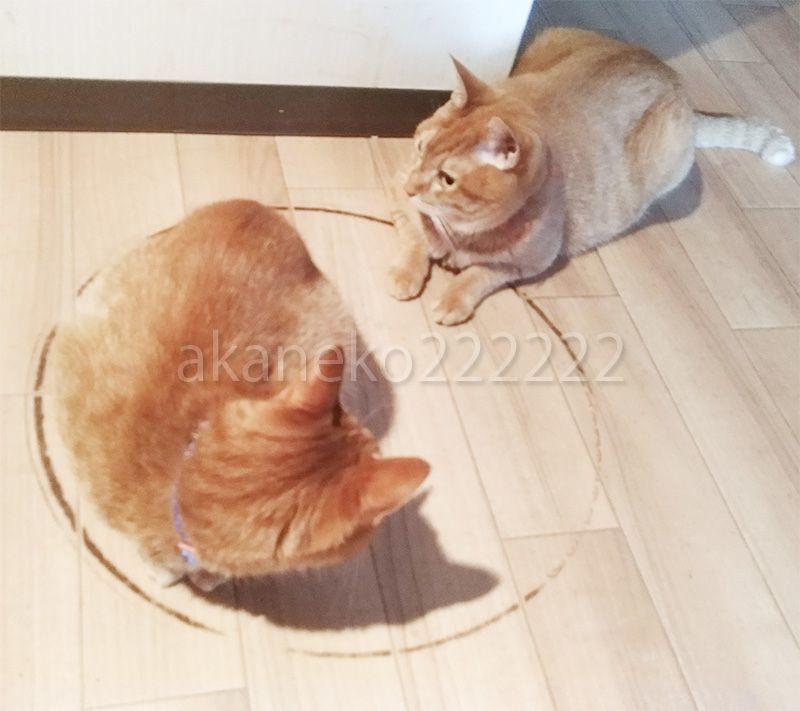 猫転送装置に入る猫