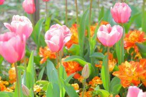 チューリップ、お花、フラワー、お花畑