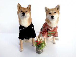 着物、きもの、柴犬、正月