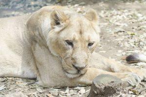 雌ライオン、メス、女、女性、おんな、動物、らいおん