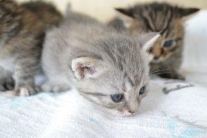 猫、ねこ、興味、子猫、小さい、子供、集中