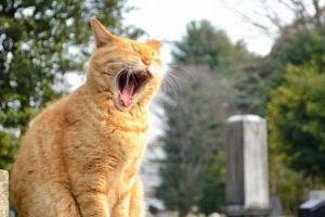 猫、ねこ、あくび、退屈、飽きた、暇、せんどした